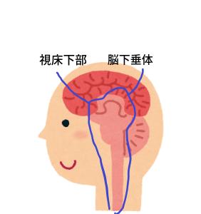 視床下部・脳下垂体