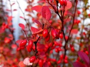 メギの赤い果実