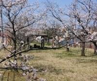 高田公園の桜 アクセスと駐車場は?混雑と渋滞予想は?トイレは?