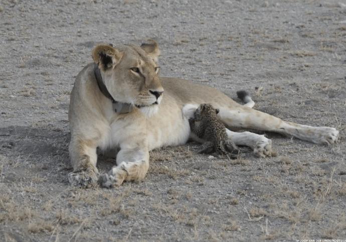 В Танзании львица спасла осиротевшего котёнка леопарда.