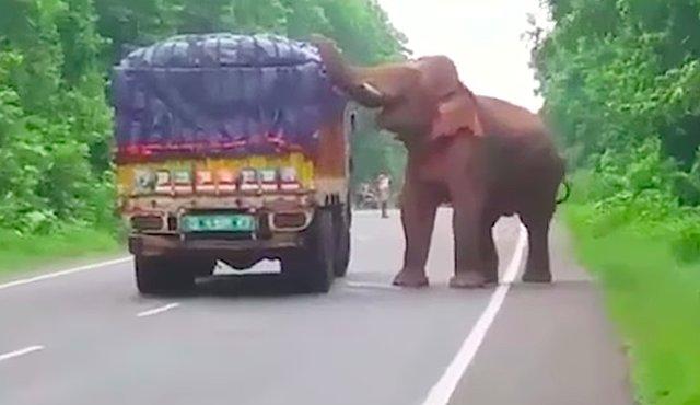 Слон с большой дороги. (забавное видео)