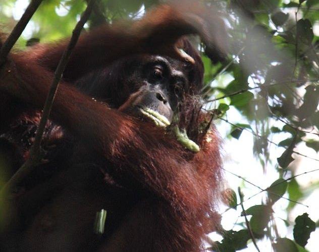 Орангутанги  используют лекарственные растения.