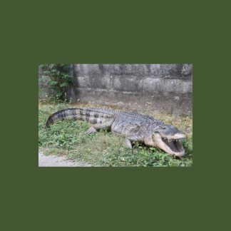 American Alligator 8ft Life Size Model
