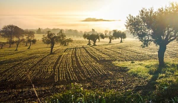 買橄欖油-橄欖樹