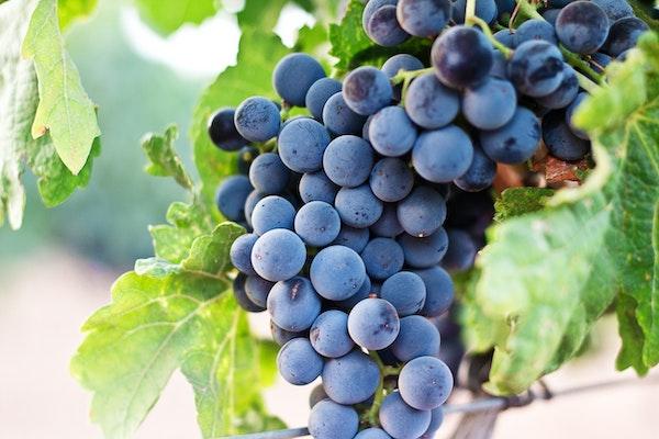 夏日美肌-植物多酚-葡萄