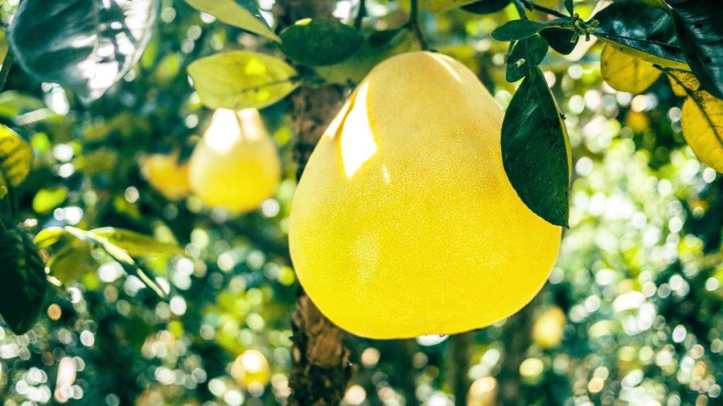 柚子-文旦-抗糖化