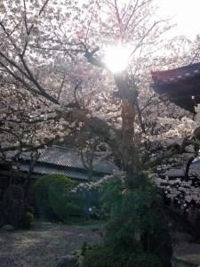 関宿お寺の桜