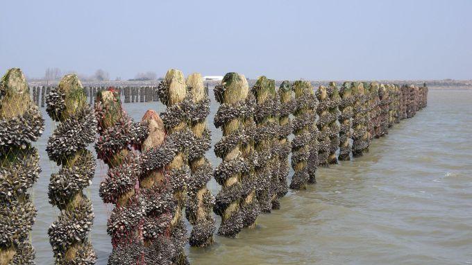 Bouchots en baie de l'Aiguillon - Life baie de l'Aiguillon