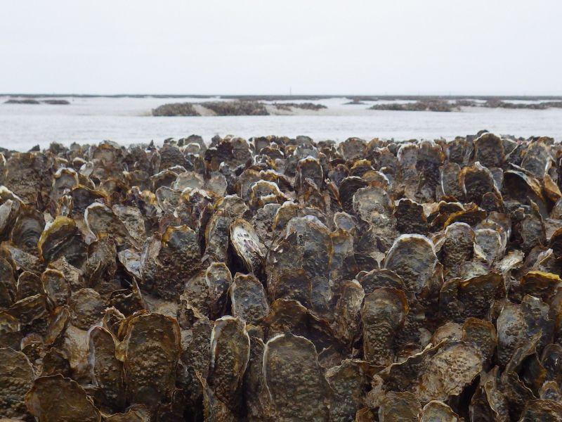 crassats giusements huitres japonnaises baie aiguillon vasière sédiment
