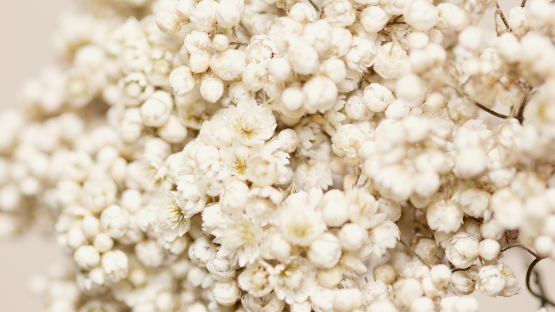 white masses of flowers and buds