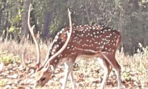 Spotted Deer – A Tanka
