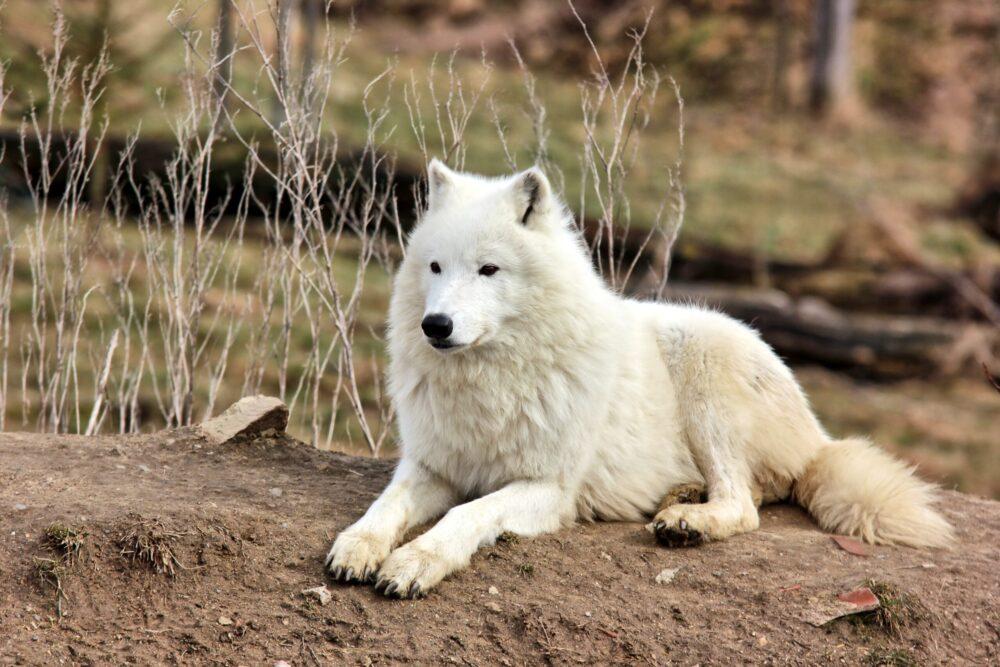 vlk arkticky zootabor 3 scaled e1616224269811