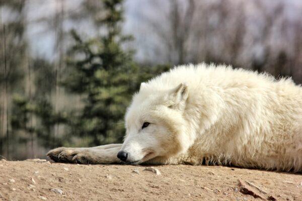 vlk arkticky zootabor 5 scaled e1616224295811