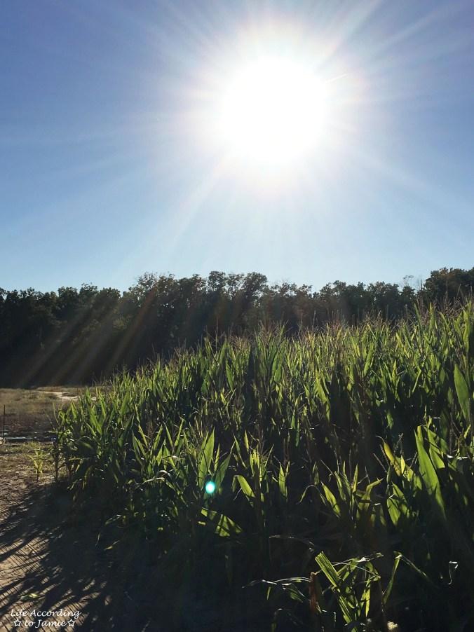 giamarese-farm-corn-maze