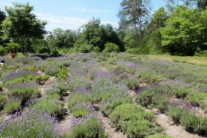 Cape Cod Lavender Farm 1