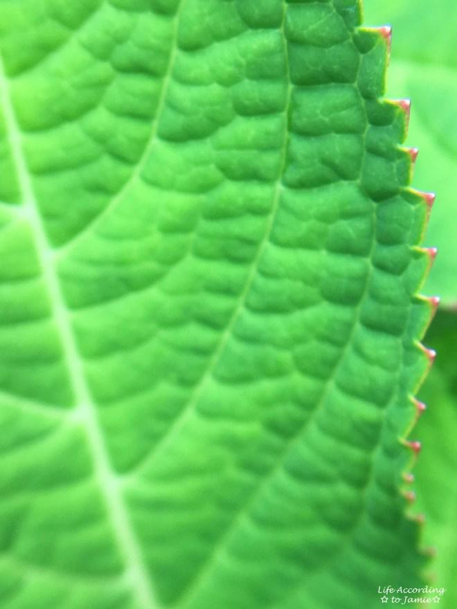Pink Hydrangea Leaf