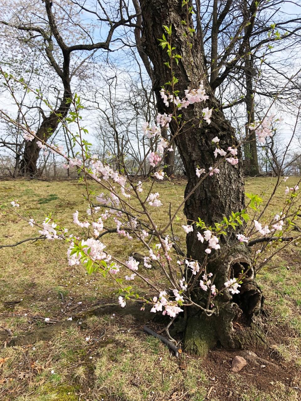 Branch Brook Park - Cherry Blossom Festival 13