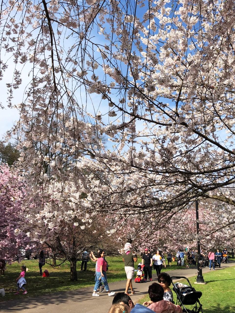 Branch Brook Park - Cherry Blossom Festival 6