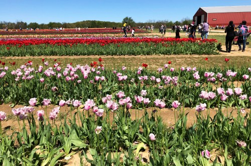 Holland Ridge Farms - Tulips