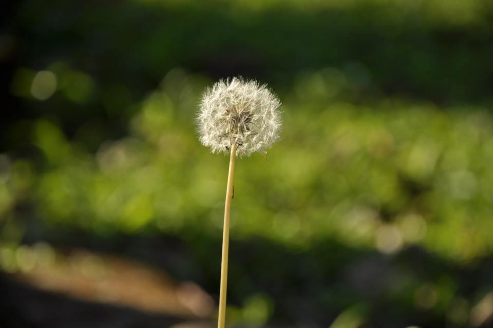 dandelion-flores-flower-59753