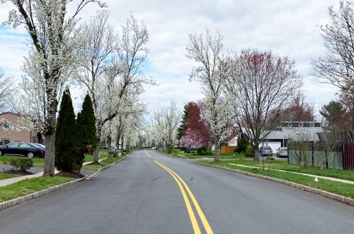 Flowering Tree Lined Street