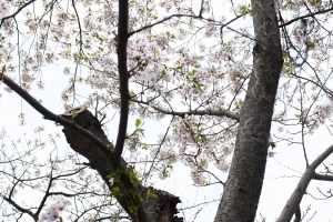 Cherry_blossom_2015-9