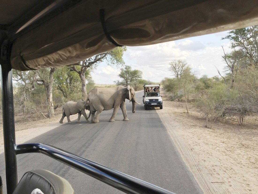 Expect to spot some amazing wildlife during your trip at Kruger National Parks in South Africa   Safari holiday packages can cost a lot - here's how I spent four memorable days enjoying an African safari on a budget in South Africa!