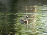 duck solo light
