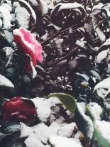 snowpink