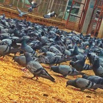 Pigeon - Life as it comes