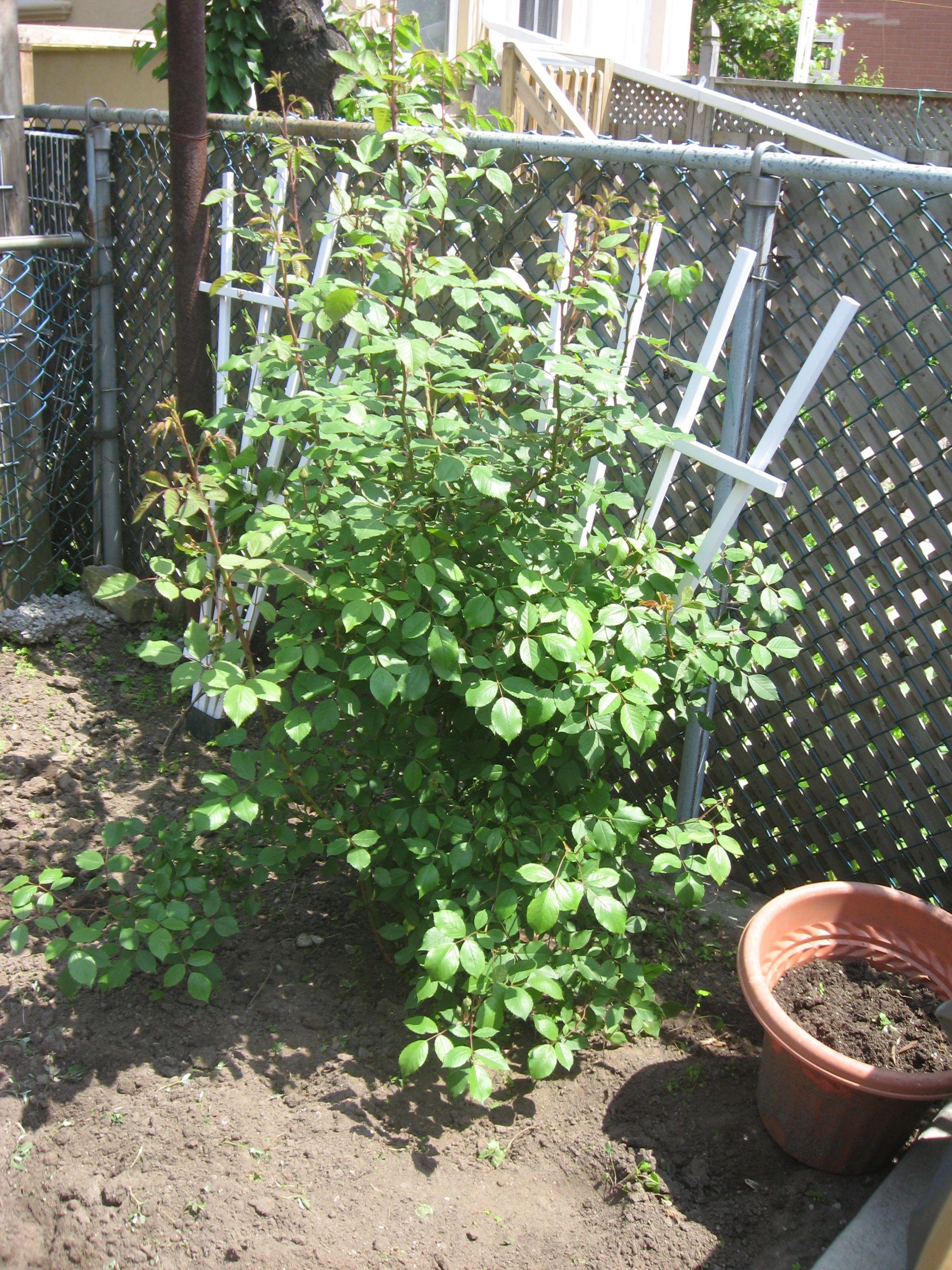 Our rosebush.