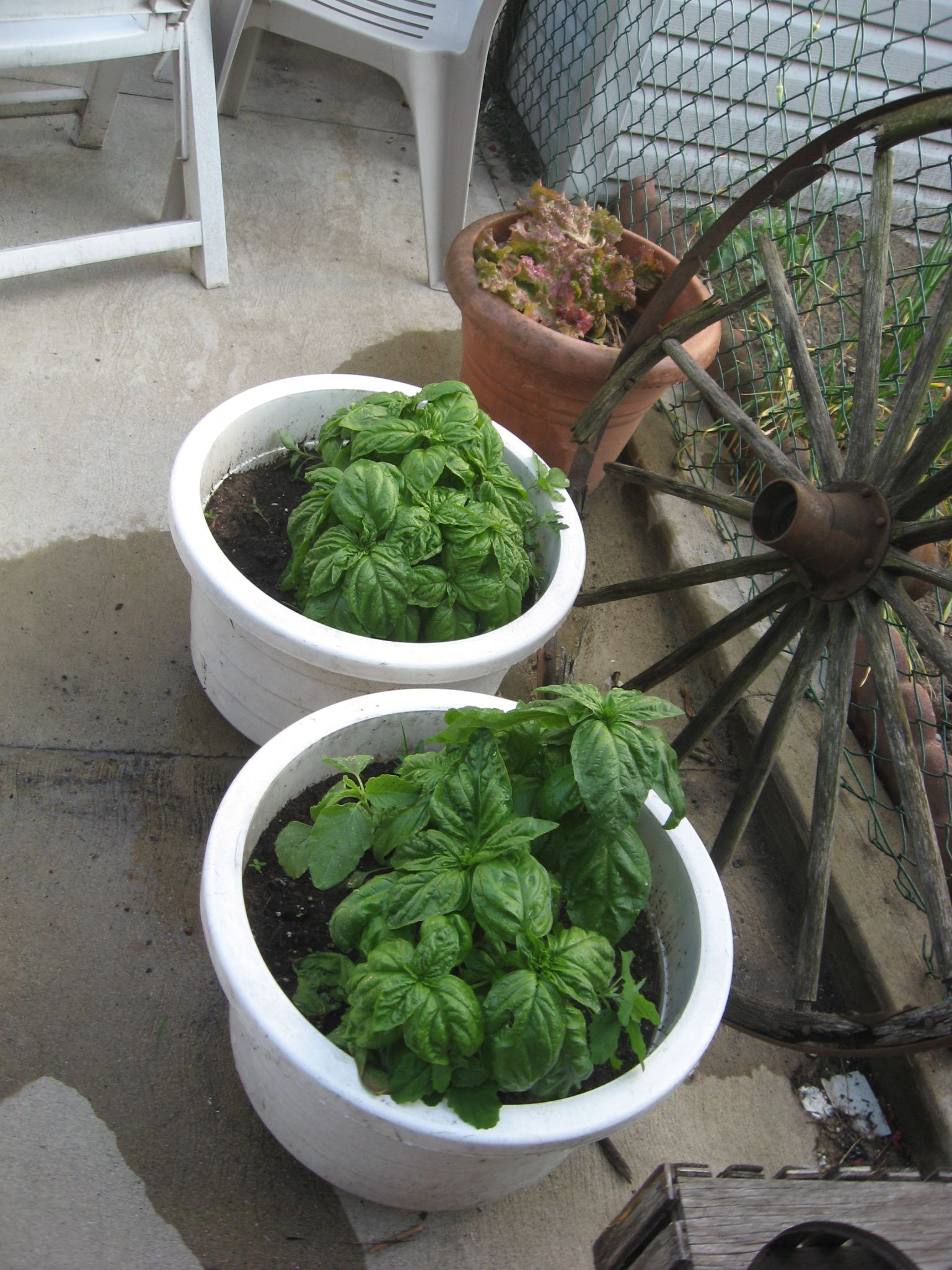 Basil! (And red leaf lettuce in the back)