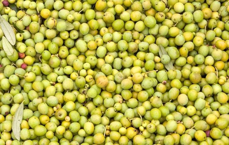 oregon-olive-mill-olives