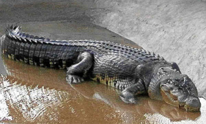 Lolong-the-record-breaking-Croc-of-the-Philippines1