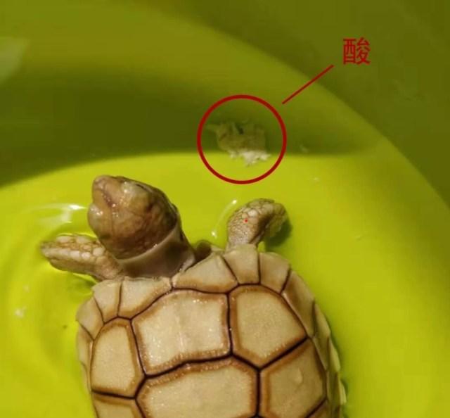 陸龜為什麼會排酸?🐢