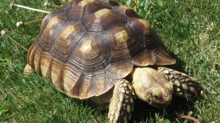 蘇卡達象龜🐢| 體型大的陸龜,行動遲緩卻力大無窮的小坦克!