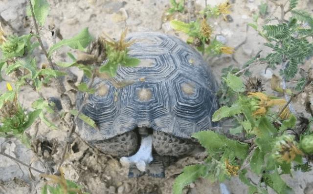 德州地鼠龜