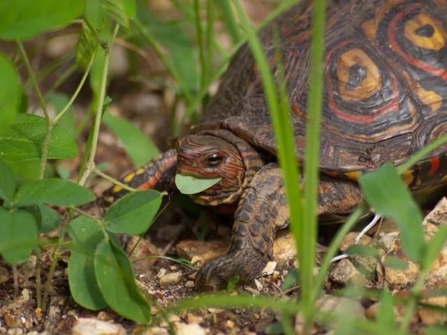 油彩木紋龜(Painted wood turtle)