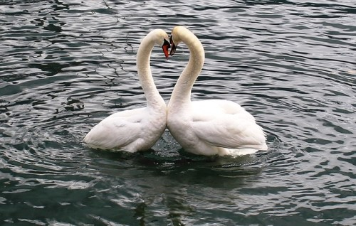 swans great relationship