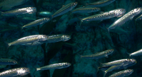 Fish 101 – fish, from the culinary point of view, is mostly about the nutrition of fish, the possible risks of fish, and how fish are caught or farmed (sustainability). sardines