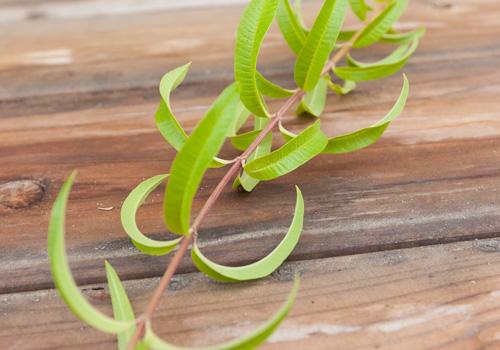 verbena leaves: Vanilla Scented Lemon Verbena Marmalade