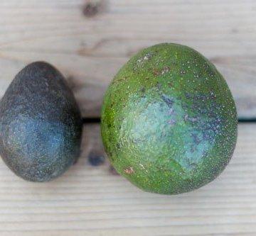 reed avocado, the organic summertime fruit