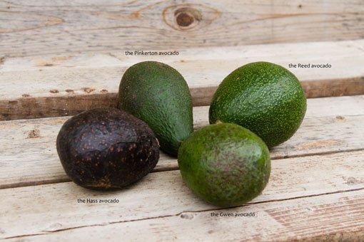 avocado reviews comparing avocados