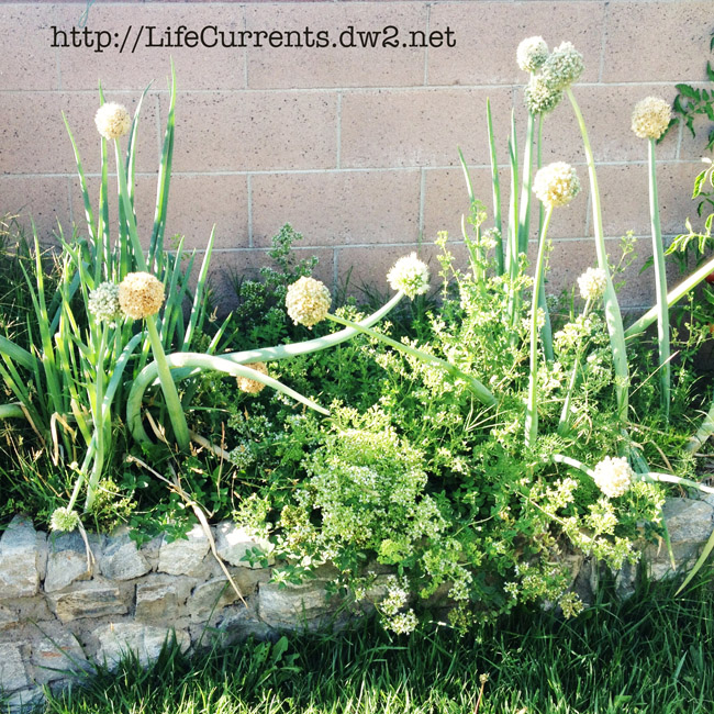 How to Grow and Use Green Onions on the cheap!