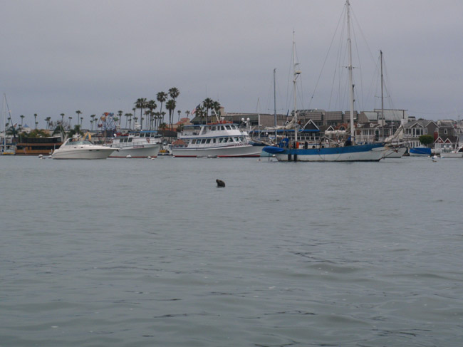 5 Can't Miss Vacation Activities in Newport Beach: Watch for sea life like this Sea Lion