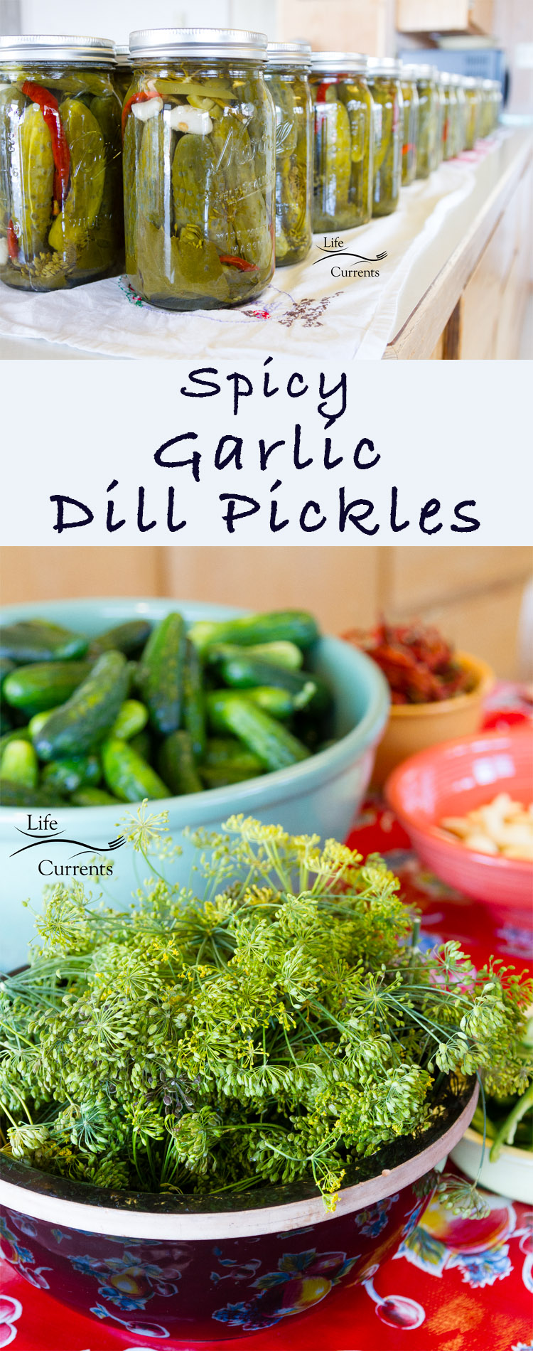 Spicy Garlic Dill Pickles - make your own to eat or give as gifts!