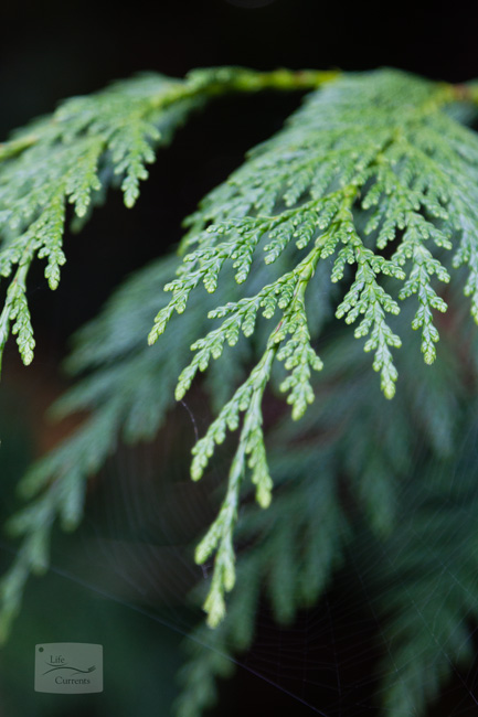 Healing Evergreen Tea: Cedar