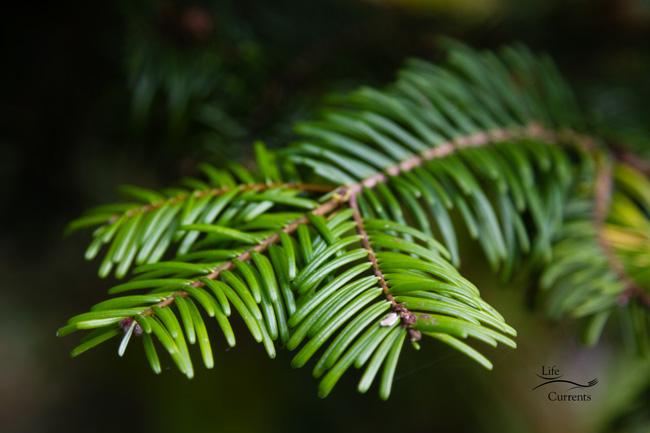Healing Evergreen Tea: Douglas fir