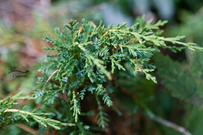 Healing Evergreen Tea: Juniper