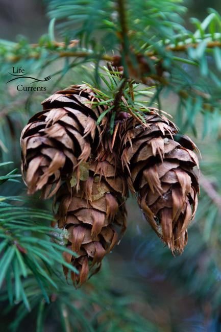 Healing Evergreen Tea - fir cones on the tree